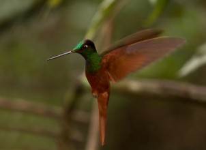 coeligena irisinca