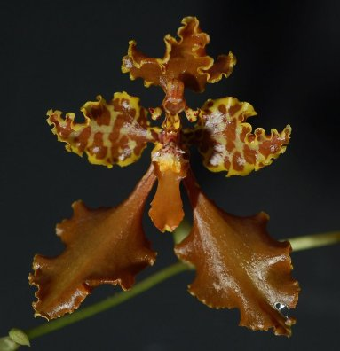 cyrtochillum gargantua